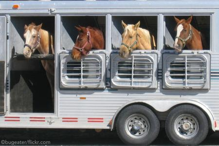 horses in trailor